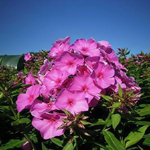 Stauden-Set Schmetterlingsgarten lila blühend für Sonne Gedrungene Garten-Flammenblume im 3 Liter Topf 3 Pflanzen